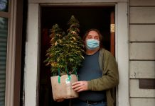 Don Skakie, cofundador de Homegrow Washington, sostiene una planta de marihuana cultivada en una casa de Seattle para uso medicinal el 1 de febrero. La Legislatura de Washington está debatiendo si legalizar el cultivo doméstico de marihuana para uso recreativo. (Erika Schultz / The Seattle Times)